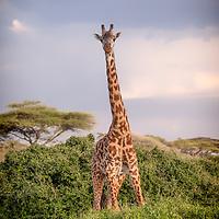 A masai giraffe calf looks out into the distance, Ngorongoro Conservation Area, Tanzania
