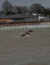 © Licensed to London News Pictures. 30/12/2015. York, UK. A dog plays in the floodwater on York Racecourse. Photo credit : Anna Gowthorpe/LNP