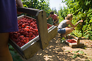 Women pick raspberries together at the U-pick fields on Remlinger Farms near Carnation, Washington on July 14, 2007.