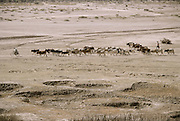 Cattle herder with his animals on the dry river plain near the village of Kouakourou, Mali.  Material World Project.