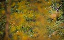 THEMENBILD - ein Rotwild Hirsch auf einer herbstlichen Wiese. Im frühen Herbst beginnt die Brunft oder Paarungszeit, aufgenommen am 17. Oktober 2015, Wildpark, Ferleiten, Österreich // A Red deer stag stands in the morning in the Ferleiten Wildlife Park. in early autumn the rutting or breeding season begin, Wildlife Park, Ferleiten, Austria on 2015/10/17. EXPA Pictures © 2015, PhotoCredit: EXPA/ JFK