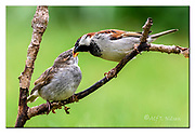 Male house sparrow feeding a large chick.  Photo from Hidra, south-western Norway in mid May. Nikon D500, 600mm (900mm in full frame), f4, 1/400sec, ISO640, Manual modus.