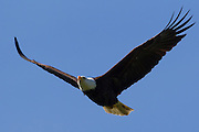 A bald eagle (Haliaeetus leucocephalus) soars against a blue sky over Lake Washington near Kirkland, Washington.