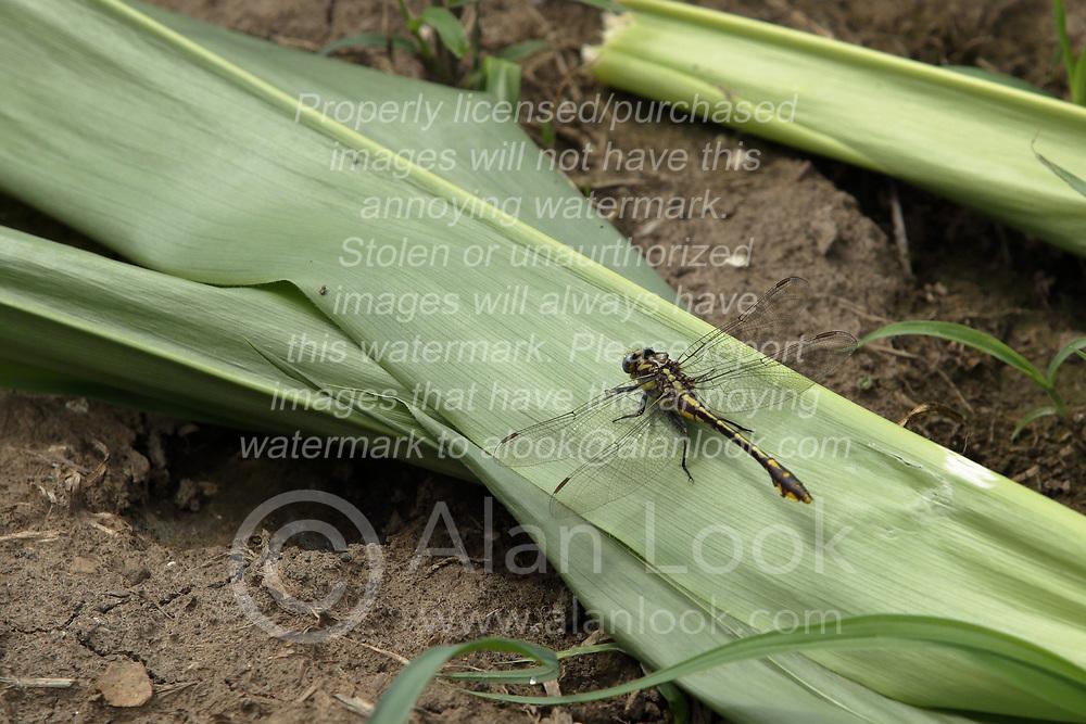 Common Sanddragon (Progomphus obscurus)<br /> <br /> Finfrock State Natural Habitat Area (Illinois)