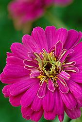 Zinnia Cactus Pink