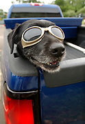 NH7/7/05 Louise<br /> ML0202F<br /> Louise sports her Doggles during rides from her owner Chris Boulden's home in the Ivoryton section of Essex to his work in North Haven. Photo by Mara Lavitt