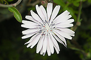 Israel, Dwarf Chicory (Cichorium pumilum)