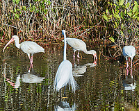 Great Egret (Ardea alba) and White Ibis (Eudocimus albus). Black Point Wildlife Drive, Merritt Island Wildlife Refuge. Merritt Island, Brevard County, Florida. Image taken with a Nikon D3 camera and 80-400 mm VR lens.