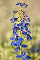 Although beautiful with a vibrant blue to purple color, the showy larkspur contains toxins like several other species of Delphinium. This is one of many blooming larkspurs that were found around my campsite in Northwestern Wyoming as I was traveling across the continent.