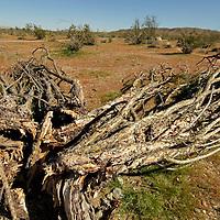 USA, California, San Diego County. Fallen Ocotillo of Anza-Borrego Desert State Park.