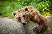 Brown bear, Ursus arctos, rests against a wall Columbia, SC