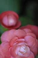 soft pink begonia