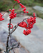 Closeup view of Rowan berries (Sorbus americana) at the top of Cadillac Mountain in Acadia National Park, Maine.