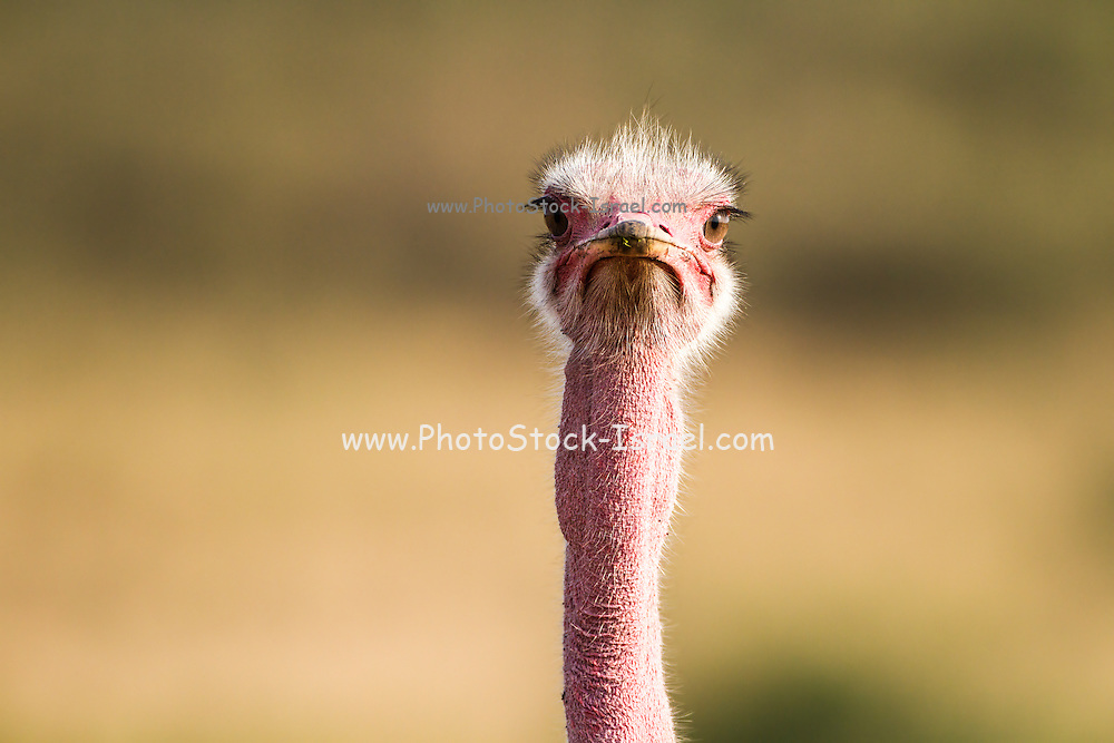 Ostrich (Struthio camelus) looking at camera. Photographed in Tanzania