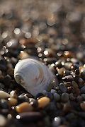 A clamshell rests in a bed of pebbles polished by the surf, Nauset Beach, Cape Cod National Seashore, Orleans, Massachusetts.