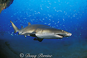 sand tiger shark, Carcharias taurus (formerly Odontaspis/ Eugomophodus ) wreck of the Papoose, N. Carolina, United States ( Western Atlantic Ocean )