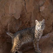Bobcat (Lynx rufus) in the red rock country of Utah.  Captive Animal.