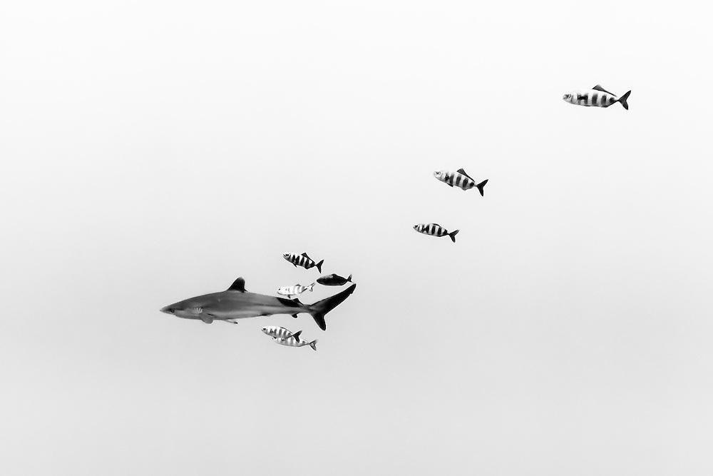 México, Guerrero, Ixtapa. A silkie shark swimming with some pilot fish around him some 10 miles off shore.