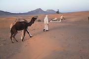 Camel trek camp with Taureg herder at dawn Sahara desert Zagora, Morocco, north Africa