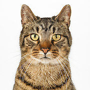 Brown Tabby Cat on White