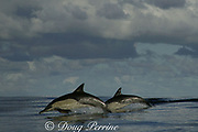 long-beaked common dolphins, Delphinus capensis <br /> ( formerly lumped with Delphinus delphis ), porpoising, Wild Coast, Transkei, South Africa ( Indian Ocean )