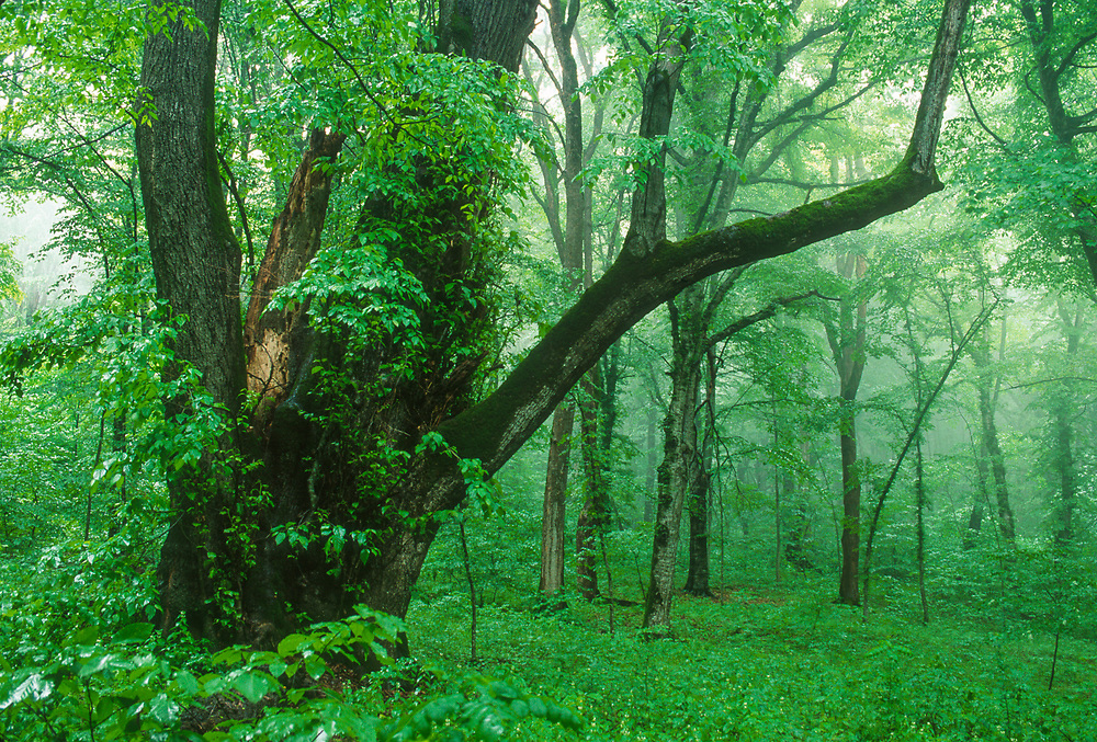 Telia tree, Lagodekhi National Park, The Country of Georgia