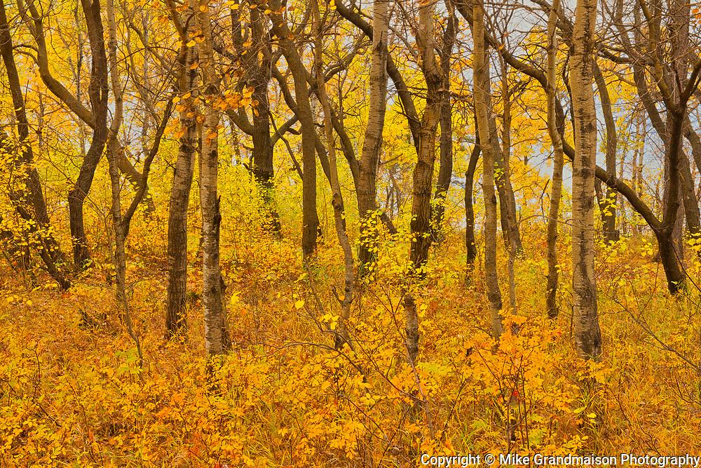 Hardwoods in autumn<br />Birds Hill Provincial Park<br />Manitoba<br />Canada