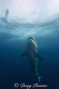 tiger shark, Galeocerdo cuvier, and snorkeler, Aliwal Shoals, South Africa ( Indian Ocean )
