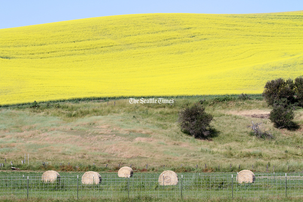 Farmers in Whitman County grow other crops besides wheat, like canola and mustard seed. (Ken Lambert / The Seattle Times)