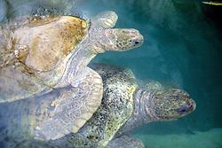 Green Turtles, Cayman Turtle Farm