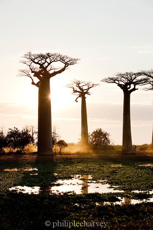 Avenue of the Baobabs at sunset, near Morondava, Madagascar