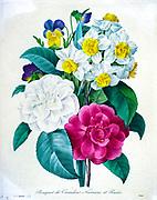 19th-century hand painted Engraving illustration of a bouquet of camellia pansy and daffodil flowers, by Pierre-Joseph Redoute. Published in Choix Des Plus Belles Fleurs, Paris (1827). by Redouté, Pierre Joseph, 1759-1840.; Chapuis, Jean Baptiste.; Ernest Panckoucke.; Langois, Dr.; Bessin, R.; Victor, fl. ca. 1820-1850.