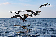 seabirds ( magnificent frigate birds and pink-footed shearwater ), gather around an olive ridley turtle floating at the surface and try to pick off the baitfish that are hiding under the sea turtle, offshore from southern Costa Rica, Central America ( Eastern Pacific Ocean )
