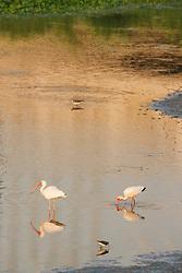 White ibis in pond near Trinity River beneath Margaret Hunt Hill Bridge and downtown, Dallas, Texas, USA.