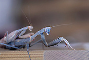 Mating praying Mantis the much smaller male is on top