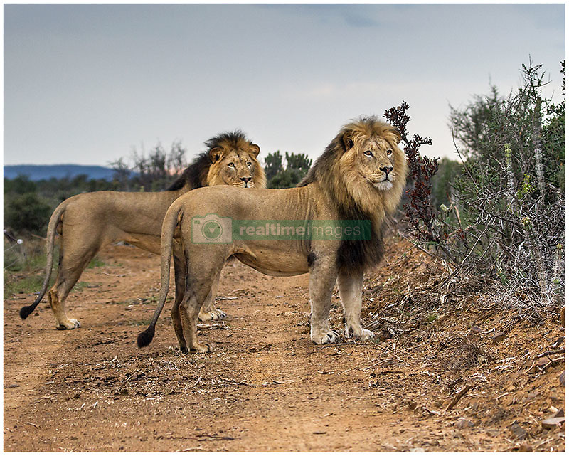 """South Africa's most loved lion Sylvester who twice cheated execution after escaping from a game park has become the proud father to these adorable cubs. Sylvester made world headlines in 2015 when he was chased out of the Karoo National Park by older lions and during three weeks on the run killed 28 sheep, a cow and a kudu. Rangers dubbed him The Ghost as he kept eluding them as he trekked his way 180 miles away from the park leaving a trail of dead animals he had been feeding on behind him. The public begged for him to be spared and when he was found asleep a decision was taken to give him a chance and he was darted rather than being shot in the $60,000 hunt. Thousand of people from around the world added their voice to appeals to spare him from being euthanised. He was airlifted back to the Karoo National Park but when he escaped again in 2016 the fugitive was dubbed a """"problem lion"""" and rangers said they feared it would have to be the bullet. But again the public came to Sylvester's rescue and thanks to a tracking collar that had been fitted after his first escape he was found after three days having eaten just the one cow. Sylvester was spared a second time when a vet darted him from a helicopter and taken back to the Karoo National Park where a life or death debate raged over the much loved lion. In the end Sylvester got a stay of execution and was moved to Kuzuko Lodge which is a contractual area of the massive Addo Elephant National Park in a bid to rehabilitate him. He was introduced to another male and two lionesses in the hope he would become a dominant male. And now the team at Kuzuko Lodge in Addo, a member of Legacy Hotels & Resorts who care for Sylvester, revealed that the publics' faith in the the Houdini-like lion had been justified. Lionesses are fiercely protective of their cubs when they are first born and it was 12 weeks before their suspicions were confirmed that Sylvester and his lioness Angel had indeed mated. These two adorable lions"""