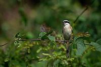 The grey-backed shrike (Lanius tephronotus) is a bird in the family Laniidae inhabiting South-east Asia.