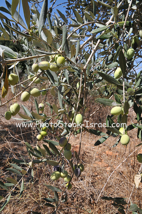 close up of olives, branches and leaves of an Olive tree