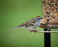 Chipping Sparrow. Image taken with a Fuji X-T2 camera and 100-400 mm OIS lens.