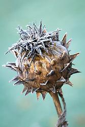 Frost on cardoon seedhead. Cynara cardunculus