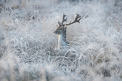 © Licensed to London News Pictures. 19/12/2017. London, UK. A deer standing in freezing temperatures at sunrise Richmond Park in west London as freezing fog hits the capital city. The Met Office has issued weather warnings for freezing fog in parts of the UK, with cancellations expected at Heathrow Airport. Photo credit: Ben Cawthra/LNP