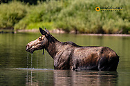 Cow Moose Feeds in Fishercap Lake in Glacier National Park, Montana, USA