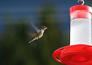 Photo Randy Vanderveen.Yuma, Arizona.20/02/10.Humming bird