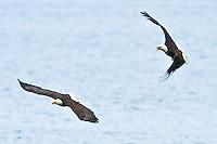 Bald Eagle (Haliaeetus leucocephalus) (Halietus leucocephalus) flies chasing another eagle over Hood Canal in Puget Sound Washington, USA