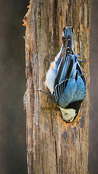 The always curios nuthatch upside down, down what nuthatches seem to love doing