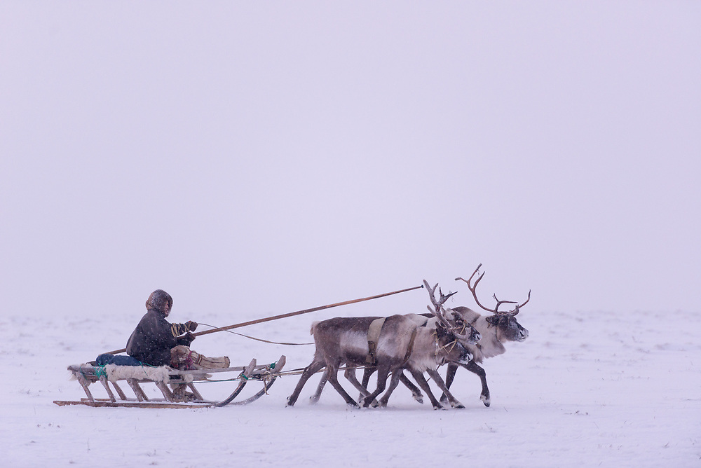 A Nenets Reindeer Herder runs three reindeer attached to his sled.