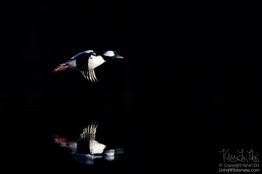 A bufflehead (Bucephala albeola) that's lit directly by the late afternoon sun flies over Scriber Lake, in Lynnwood, Washington, which is completely in the shade.