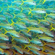 Caribbean Goatfish