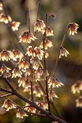 Chimonanthus praecox<br /> Wintersweet