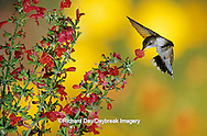 01162-063.19 Ruby-throated Hummingbird (Archilochus colubris) female on Lady-in-Red Salvia (Salvia coccinea) Shelby Co. IL